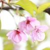 桜と言えば、さくら餅!