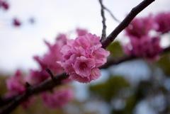 横浜寒緋桜