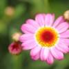 春の向日葵