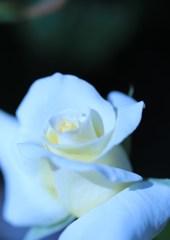 ホワイトrose