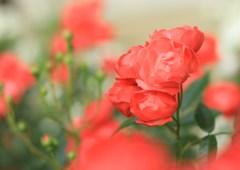 薔薇色人生