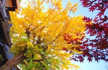 樹齢200年(色彩鮮やか) @祖父江