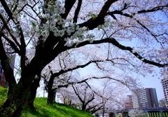 桜満開#1 @岡崎城公園