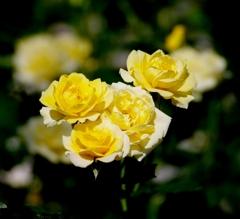 西尾のバラ#4