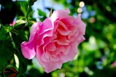 薔薇#1 @ミササガパーク