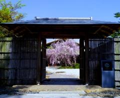 しだれ桜 散り初め @徳川園