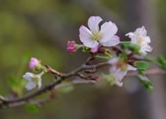 十月桜 @ Denpark