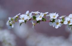 春のゆき絨毯#1 @柿田公園