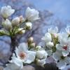 梨と桜の花のコラボ