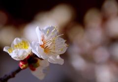 梅 咲き始めました。