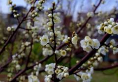 白梅咲き始めました。@デンパーク