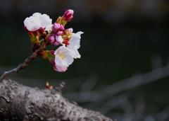 倉敷美観地区 桜咲き始めました#2