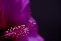 祝 タイタンビカス開花 #2 @我家のガーデニング