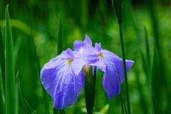 紫一点 @松平郷