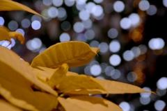 黄色のポインセチア @デンパーク