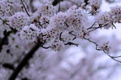 桜満開でした。#1 @豊田安城自転車道