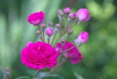 薔薇咲き始めました。