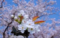 梨の花と桜のコラボ