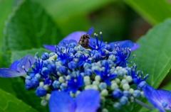 お家のヤマアジサイ#2と蜂