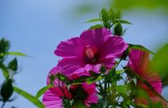 祝 タイタンビカス開花#1 @我家のガーデニング