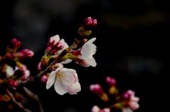 倉敷美観地区 桜咲き始めました。