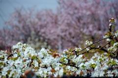 安城梨の花 バックは散り初め桜 #2