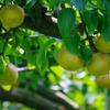 安城梨 収穫始まりました。