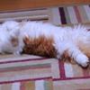 うちの猫君 爆睡中!