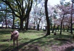 桜散り初める太古の森#2 @ 奈良公園