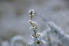 春のゆき絨毯#2 @柿田公園