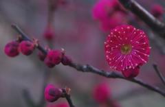 紅梅咲き誇ってます。@デンパーク