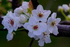 安城梨の花#1