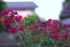 祝 薔薇が満開! @我家のガーデニング