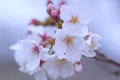 桜咲き始めました。#1 @柿田公園