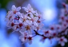 桜ではありません。@デンパーク