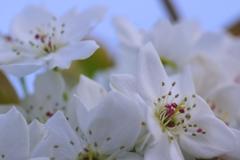 安城梨の花#2