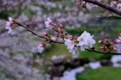 桜咲き始めました。#2 @柿田公園