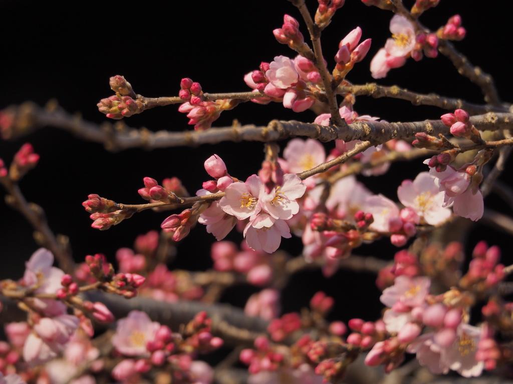 氷室神社 枝垂れ桜 咲き始め
