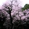 今年は行けなかった桜。