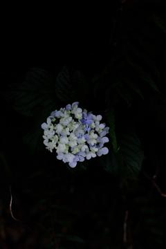 2019紫陽花②。