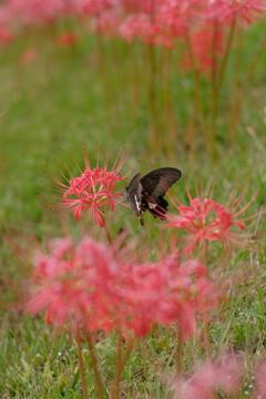 ひがんばなと蝶。