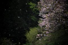 日本の日常 桜吹雪