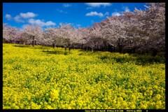群馬の赤城南面千本桜②