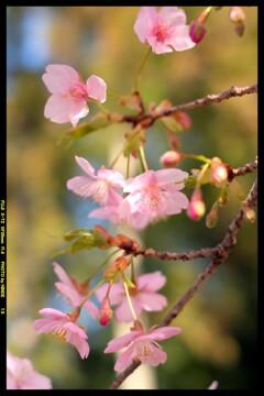 前橋の熊野神社境内の桜⑤