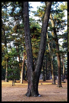 前橋の敷島公園松林にて⑨