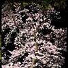 夜の前橋公園桜まつり④