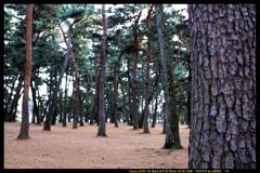 前橋の敷島公園松林にて⑦