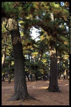 前橋の敷島公園松林にて④