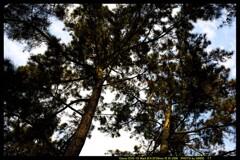 前橋の敷島公園松林にて⑩