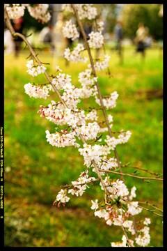 前橋の敷島公園と桜の開花と④